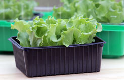 Salad plants seedlings Royalty Free Stock Photography
