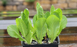 Salad plants Stock Photography