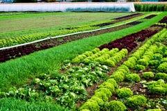 Salad rows on a farm Stock Photo