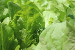 Salad. In the garden Royalty Free Stock Images