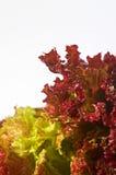 Salad - Salat. Salad on white background - Salat auf weissem Hintergrund Royalty Free Stock Photos