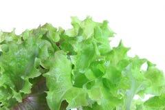 Salad seedling Royalty Free Stock Image