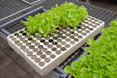 Salad seedling. In polystyrene holder for hydroponics gardening Royalty Free Stock Images
