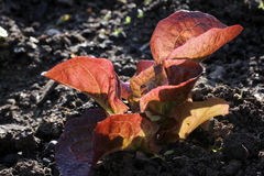 Salad seedling, red lettuce Royalty Free Stock Images