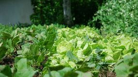 Salad seedlings in the garden Stock Photography