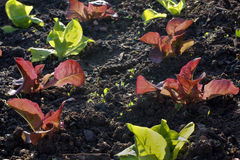 Salad seedlings, red and green lettuce Royalty Free Stock Photography