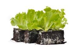 Salad shoots Royalty Free Stock Image