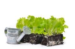 Salad shoots Stock Image