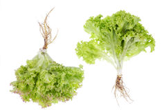 Salad small bushes with roots isolated Stock Photography