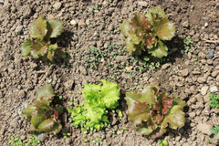 Salad in the soil. Salad growing in the soil - top down view Royalty Free Stock Photo