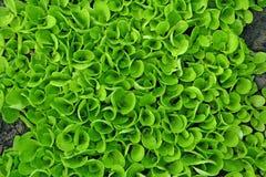 Salad texture Royalty Free Stock Image