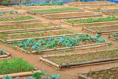 Salad and vegetable cultivation Stock Photography