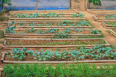 Salad and vegetable cultivation Royalty Free Stock Photography