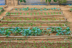 Salad and vegetable cultivation Royalty Free Stock Photos