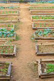 Salad and vegetable cultivation Royalty Free Stock Images
