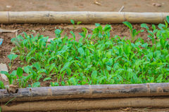 Salad and vegetable cultivation Stock Photos