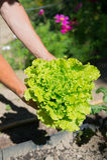 Salad in vegetable garden Stock Image