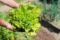 Salad in vegetable garden Stock Photo