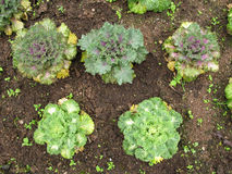 Salad vegetable grow on ground Royalty Free Stock Images