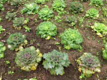 Salad vegetable grow on ground Stock Images