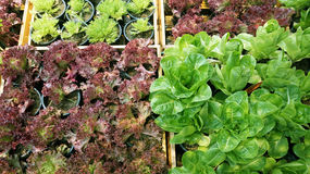 Salad vegetable hydroponics garden with water droplets Royalty Free Stock Photography