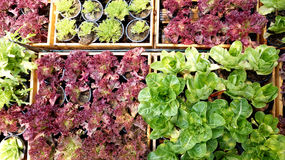 Salad vegetable hydroponics garden with water droplets Royalty Free Stock Photo