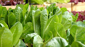Salad vegetable hydroponics garden with water droplets Stock Images