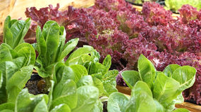 Salad vegetable hydroponics garden with water droplets Royalty Free Stock Images