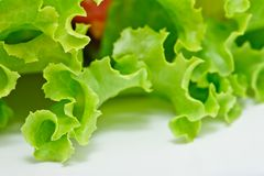 Salad vegetable, Lattuce. Royalty Free Stock Image