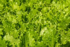 Salad vegetables plant background Stock Images