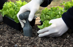 Salad young plants planting on the garden bed. Young salad plants planting on the vegetable garden bed with hand and garden tools Royalty Free Stock Photo