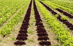 A salada crescente Imagens de Stock