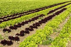 A salada crescente Imagem de Stock Royalty Free