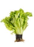 Salada da alface no potenciômetro Fotos de Stock