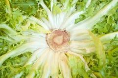 Salada da endívia Fotografia de Stock