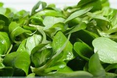 Salada da folha da valeriana imagens de stock royalty free