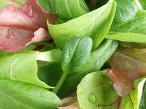 Salada da folha do bebê Imagens de Stock Royalty Free