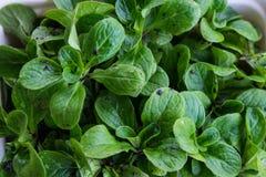 Salada de milho orgânica colhida recentemente e enlameada - lo do Valerianella Fotografia de Stock