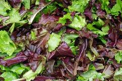 A salada esverdeia a opinião do close-up Imagem de Stock