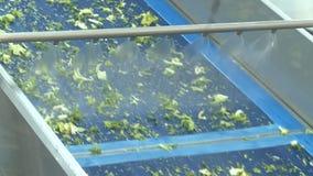 A salada fresca das mostras da câmera sae transportado e lavado vídeos de arquivo