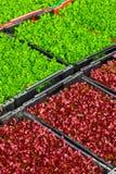Salada fresca lavada nas caixas Fotografia de Stock