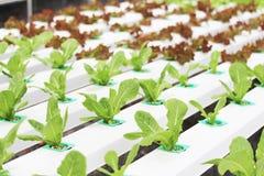 Salada orgânica da hidroponia com solo líquido na água do Não-solo na exploração agrícola orgânica imagens de stock royalty free
