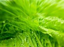 Salada verde - alface de Romano Foto de Stock