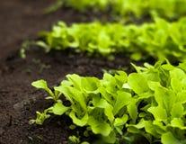 Salada verde nova da alface na estufa Fotografia de Stock