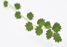 Salade Burnet frais Images stock