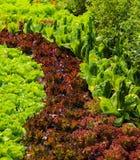 Salade croissante Images libres de droits