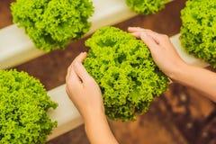 Salade dans des mains de soin Ferme hydroponique de salade de légumes Hydropo Photo stock