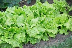 Salade dans le domaine images stock