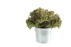 Salade de corail rouge dans le pot Images stock