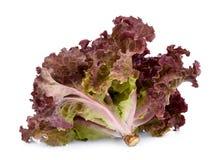 Salade de corail rouge fraîche ou laitue rouge d'isolement sur le blanc image libre de droits